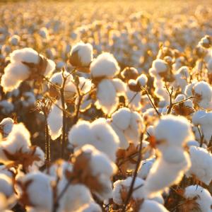 bio baumwolle gots zertifiziert minky mooh kontrolliert biologischer anbau kba quer baumwollfeld sonne.png