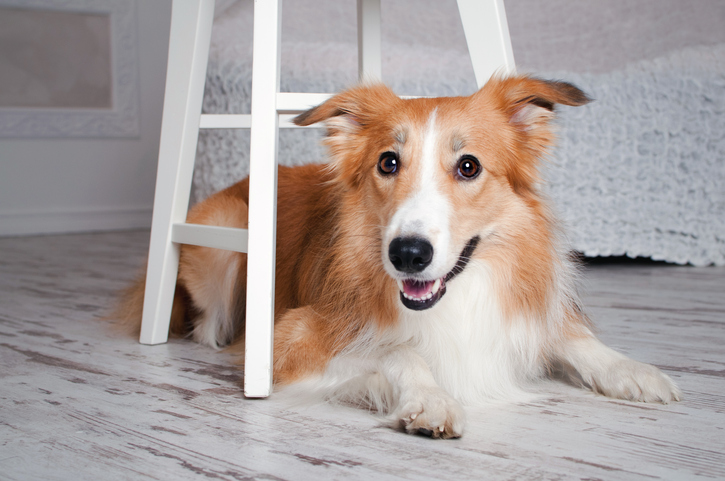 Can a Border Collie Live in an Apartment?