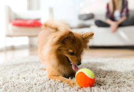 Dog playing with ball indoors